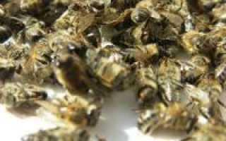 Лечение пчелиным подмором сахарного диабета: лечебные свойства